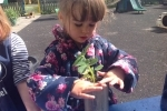Imogen firming in the strawberry plant