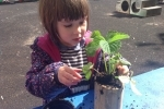 Lilly firming in her strawberry plant