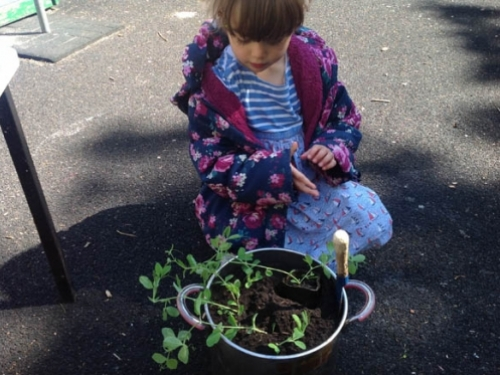 Imogen placing her sweet pea plant